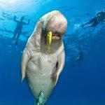 5_Red_Sea_Marsa_Alam_scuba_diving_holiday_dugong_482x600
