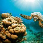 Green Turtle (Chelonia mydas), Red Sea, Marsa Alam, Egypt